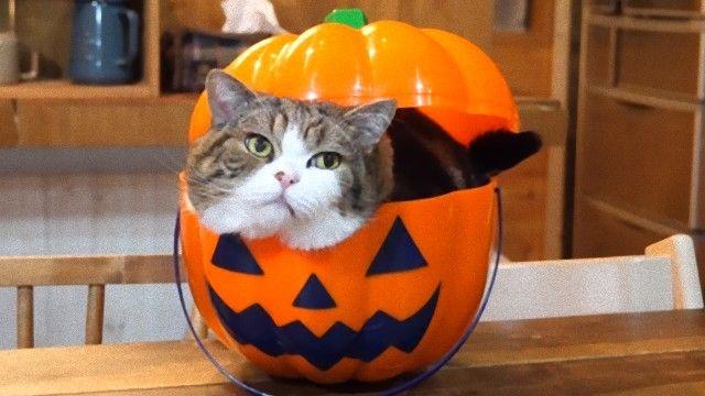 今年もハロウィンがきた?だもんだから、猫のまるさんもジャック・オー・ランタンになってみた。