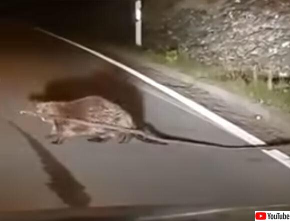 ビーバーが長すぎる建材を持って道路を横断。途中でへばるもドライバーに助けられる(ドイツ)