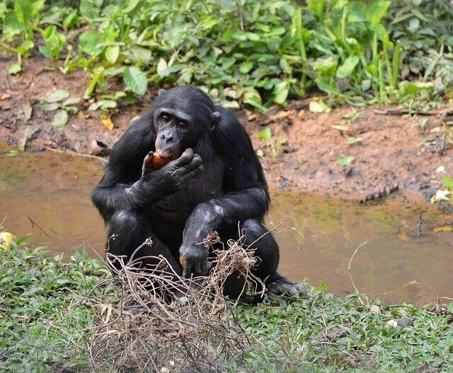 ボノボもグルメ王。新種のトリュフを食べていたことが判明(コンゴ民主共和国)