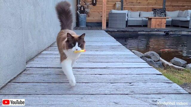 ラグドールのミカ「ほら取って来たよ!」とお庭でフェッチ遊びを楽しむ