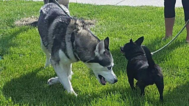 これからはずっといっしょだね!親友同士だった保護犬ハスキーとチワワ、無事に同じお宅に引き取られる