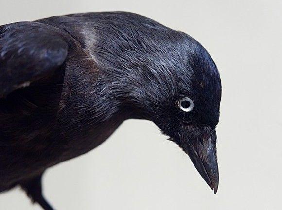 鳥の耳ってどうなってるの?カラスに耳を見せてもらったら、想像を超えるレベルの耳だった。