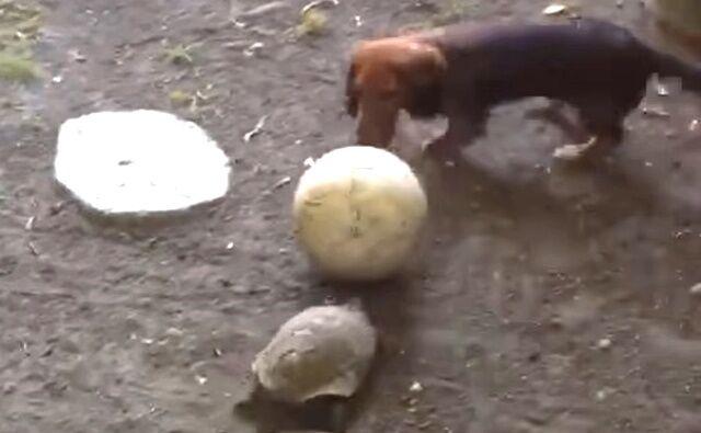 「それボクの!絶対に渡さないんだから!」リクガメと犬のボール大好き追いかけっこ