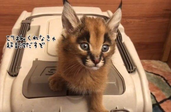 耳毛キュートなワイルドキャット「カラカル」の子猫。お腹がすいたときの鳴き声のピキピキ感がすごい(要音声)