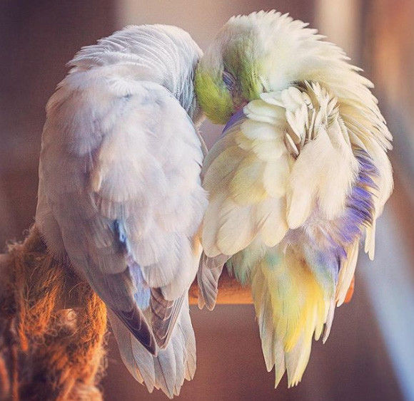 愛すべきパステルカラーの鳥、マメルリハたちのキュートの画像