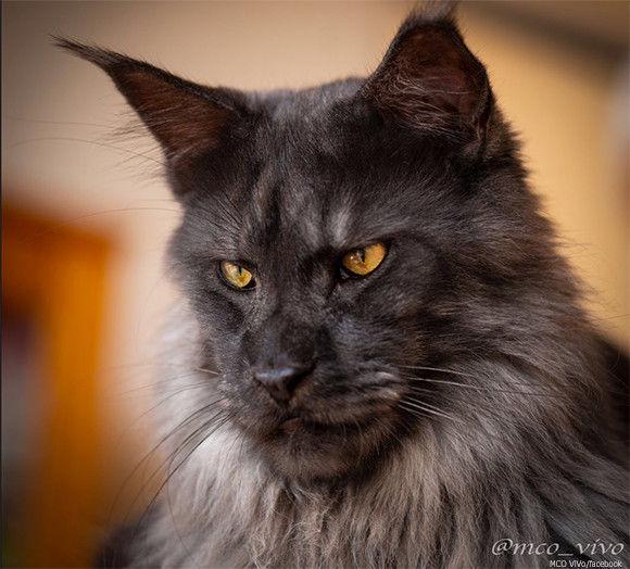 王家の血を引いているんじゃ?と噂の気高き猫「ヴィーヴォ」その表情は猫というよりも、人面...