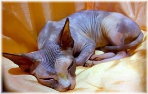 sphynx-cat-1246696_960_720