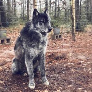 wolfdog_15-min
