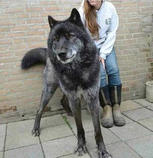 wolfdog_03-min