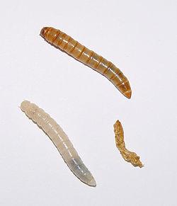 250px-Tenebrio_molitor_larvae