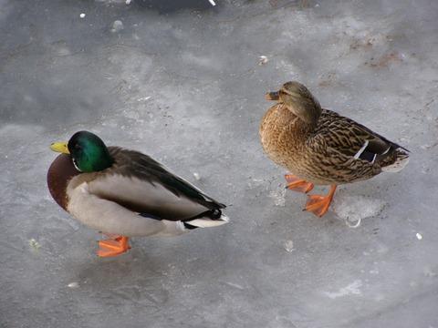 duck-54634_960_720