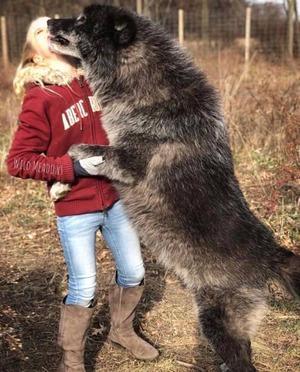 wolfdog_25-min