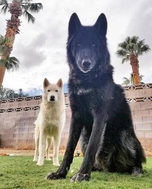wolfdog_14-min