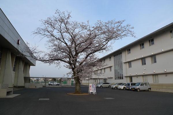 八街中央中学校の桜