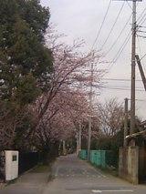 実住小学校の桜道