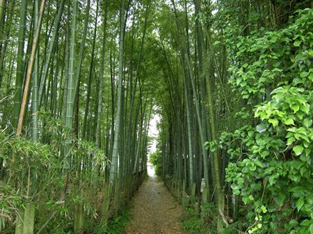 八街市の竹林