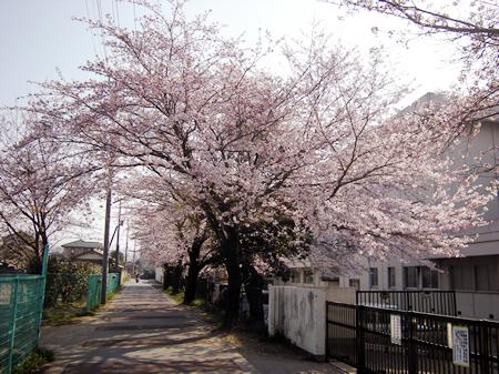 実住小学校の桜