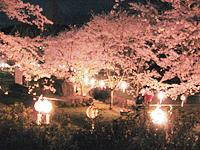 桜祭りちょうちん