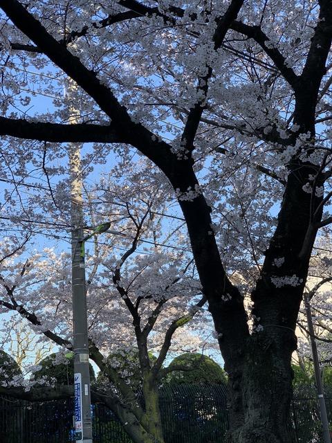 20200326桜
