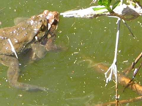 縁起もの カエルの卵 オタマジャクシ 飼育 池沼