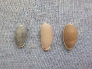 タカラガイ3種