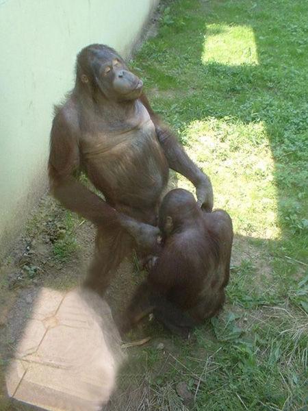 チンパンジー修正