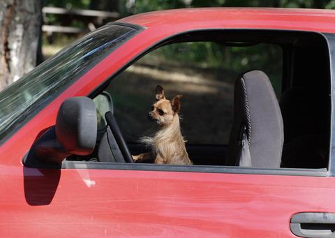 ペットが運転 (6)