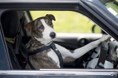 ペットが運転 (3)
