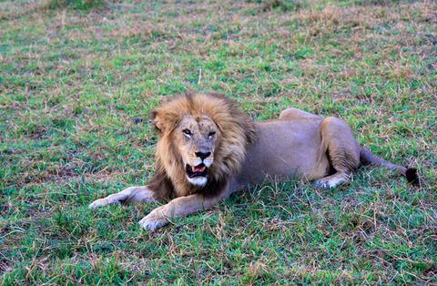 百獣の王ライオンの日常と意外な素顔