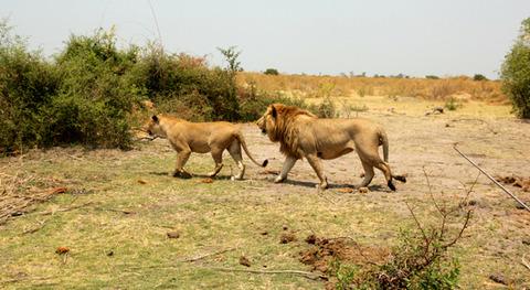 百獣の王ライオン (3)