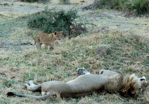百獣の王ライオン (6)