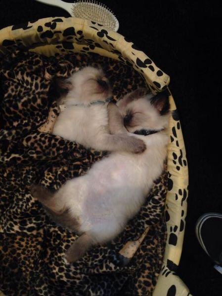 キュンキュンが止まらない!!子猫の寝顔が可愛すぎる!!