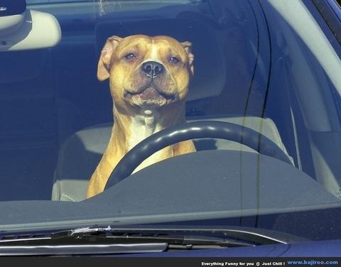 ペットが運転 (1)