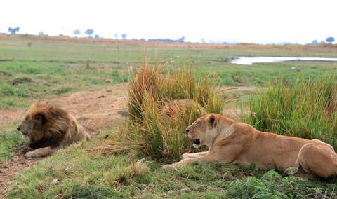 百獣の王ライオン (4)