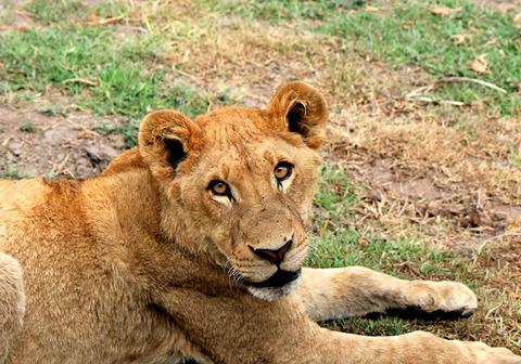 百獣の王ライオン (5)