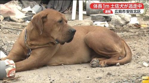 体長1mの土佐犬が逃走