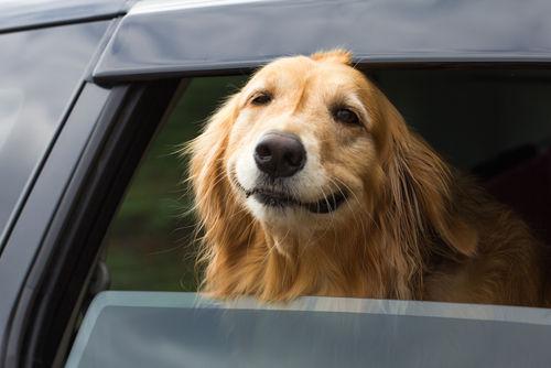 車の窓から顔を出して風と戯れる犬画像5