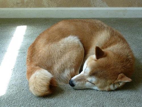 気持ち良さそうに寝てる犬の寝顔って良いよね19