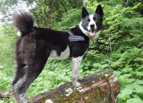 【クマ対策犬】ベアドッグ…人とクマの共存に寄与