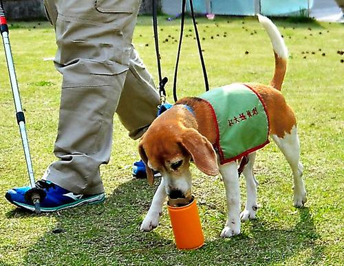外来種のヒアリを見つける「ヒアリ探索犬」、台湾から来日2