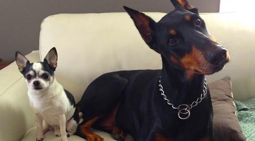 チワワとドーベルマンを犬っていう同じ括りに入れるのは無理ない