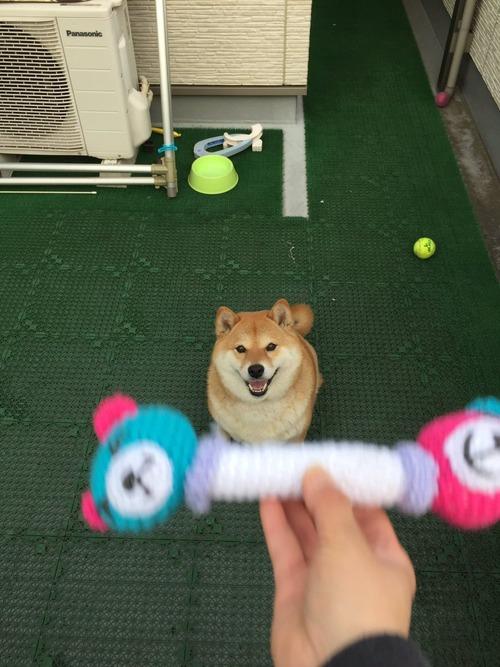 柴犬におもちゃを投げた結果www