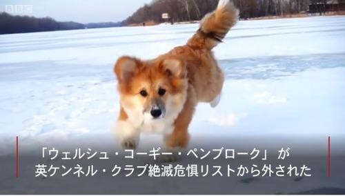 エリザベス女王愛好のコーギー犬 人気復活