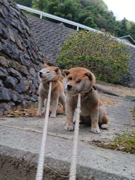 動くの断固拒否な二匹の柴犬