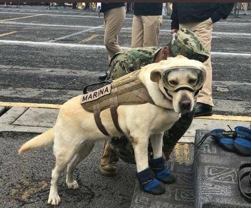 メキシコ地震で50人以上の命を救った救助犬の凛々しい姿に称賛と感謝の声「犬民栄誉賞を」