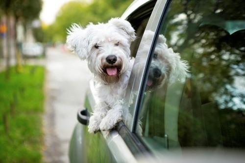 車の窓から顔を出して風と戯れる犬画像10