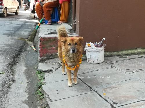 ネパールの犬のお祭「ククルティハール」3
