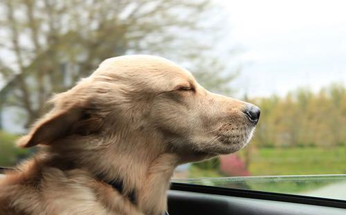 車の窓から顔を出して風と戯れる犬画像15