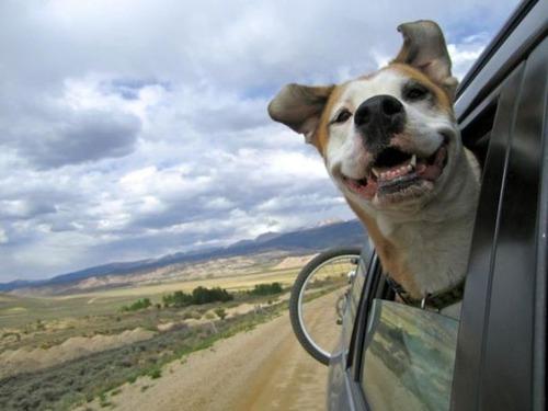 車の窓から顔を出して風と戯れる犬画像7