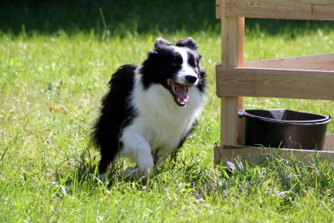 ボーダーコリーとかいう最強の犬種
